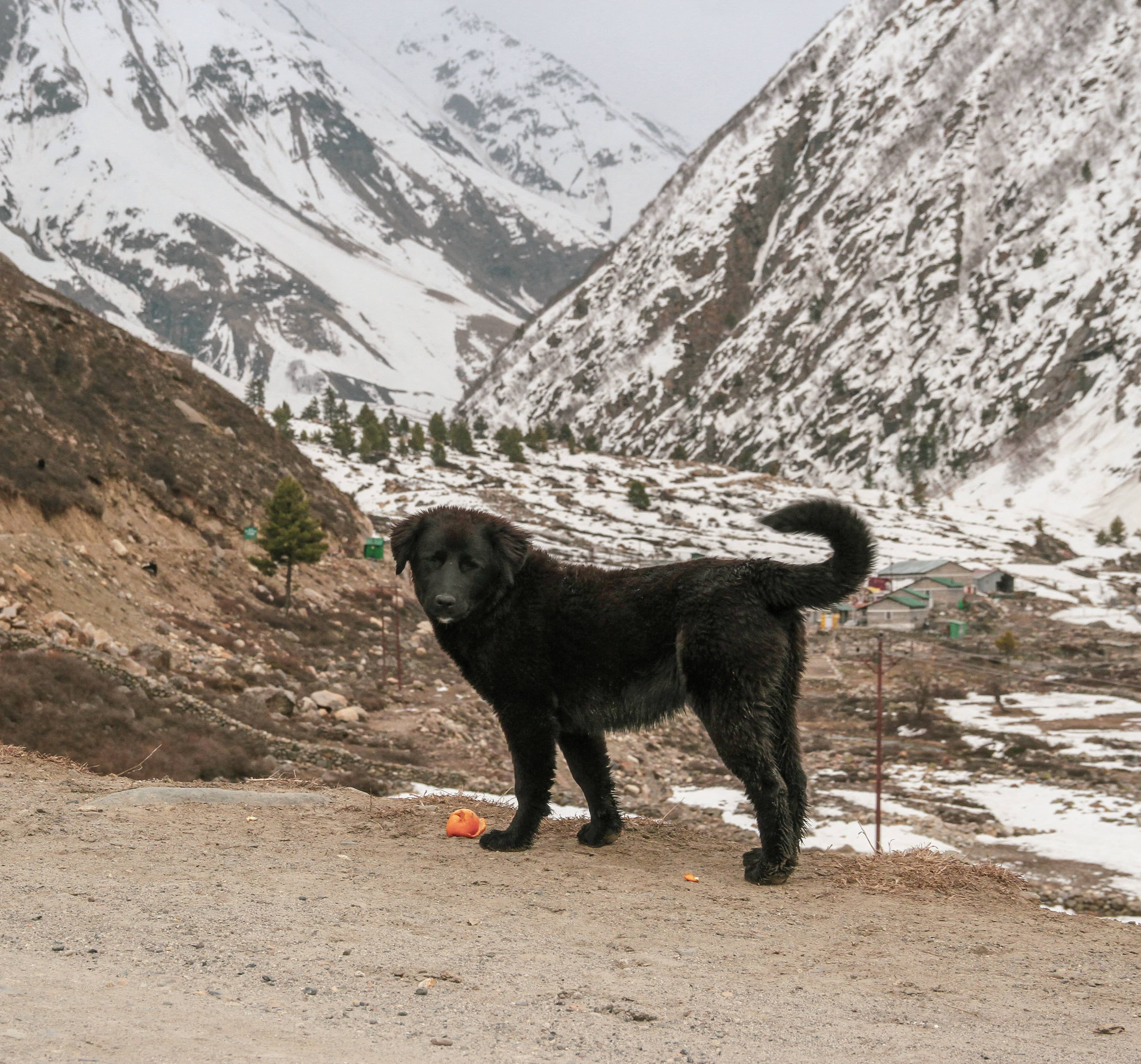 Dogs of Chitkul