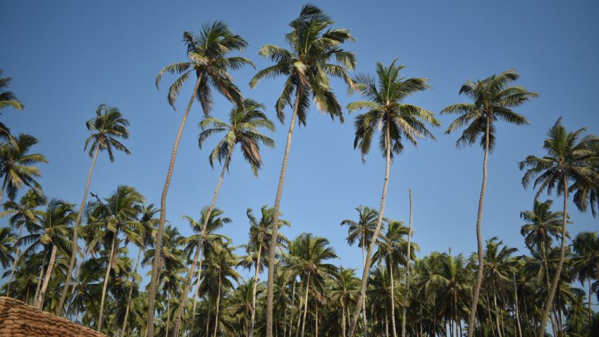 Coconut trees in Goa
